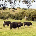 spainventure-bulls-fight-toros-en-la-dehesa-y-si-damos-un-paso-mas-