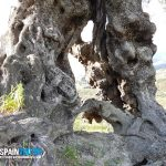 spainventure-ancient-olive-tree-in-malaga-province-adventure-4x4-a-hole Aventura entre Olivos